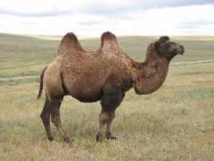 063-bis-tiens_-un-chameau-bien-nourri.jpg